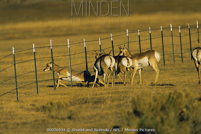 Pronghorn Antelope (Antilocapra americana) encountering fence and climbing under it, south of Pinedale, Red Desert, Wyoming  -  Shattil & Rozinski/ npl