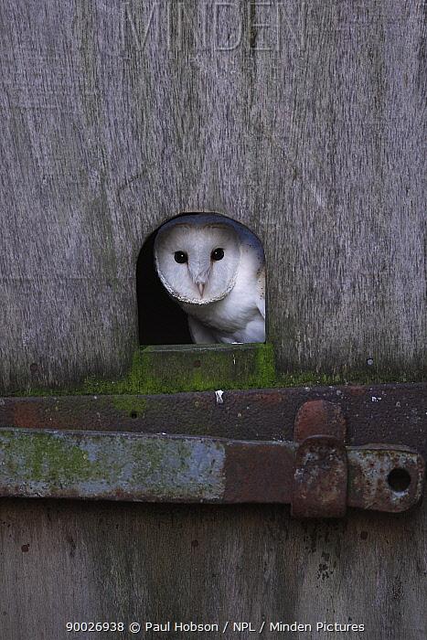 Barn Owl (Tyto alba) looking out of hole in barn door, Norfolk, United Kingdom  -  Paul Hobson/ npl