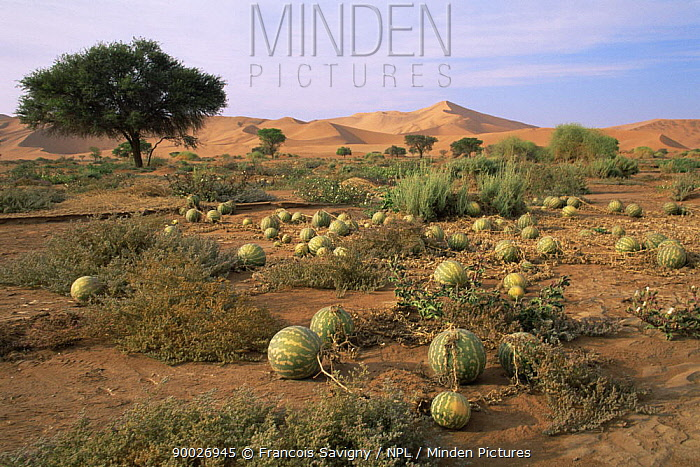 Field of Tsamma, water melons (Citrullus lanatus) growing in the Namib desert after the flood of 1997, Sossusvlei, Namibia  -  Francois Savigny/ npl