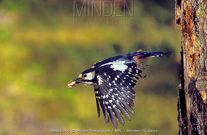 Great Spotted Woodpecker (Dendrocopos major) male flying from nest hole carrying faecal pellet, Lorraine, France  -  Michel Poinsignon/ npl
