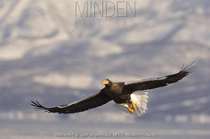 Steller's Sea Eagle (Haliaeetus pelagicus) in flight, Kuril Lake, Kamchatka, Far East Russia  -  Igor Shpilenok/ npl