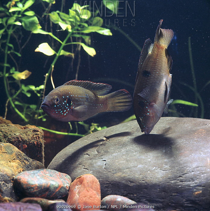 Jewel cichlid (Hemichromis bimaculatus) pair cleaning and trying out stone on which they will spawn, captive, from Africa, sequence 3, 12  -  Jane Burton/ npl