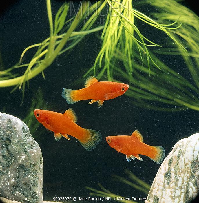 Red platy fish (Xiphophorus maculatus) captive, from Central america  -  Jane Burton/ npl