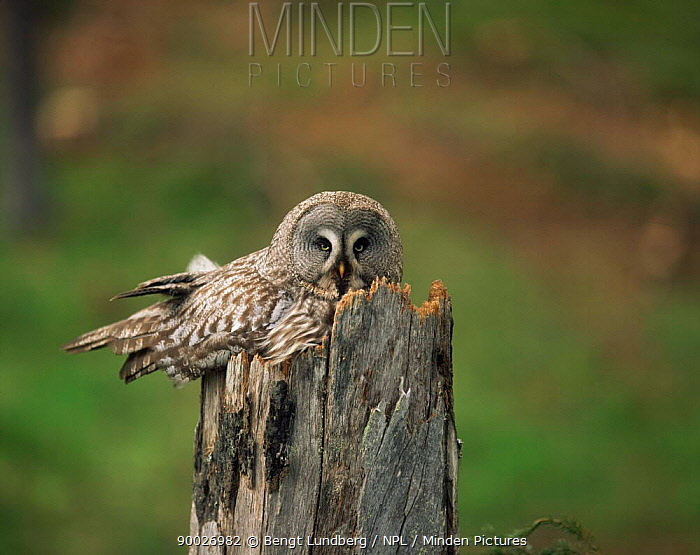 Great Gray Owl (Strix nebulosa) parent on nest in 400 year old pine tree stub, Sweden  -  Bengt Lundberg/ npl