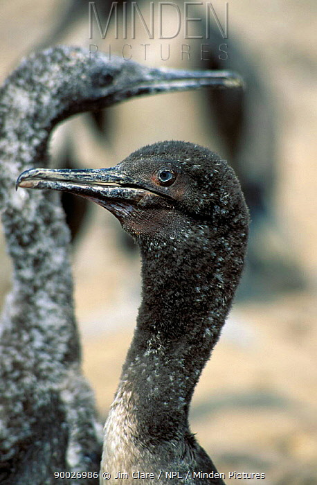 Juvenile Guanay cormorant (Phalacrocorax bougainvillei) Guano Islands, Peru  -  Jim Clare/ npl