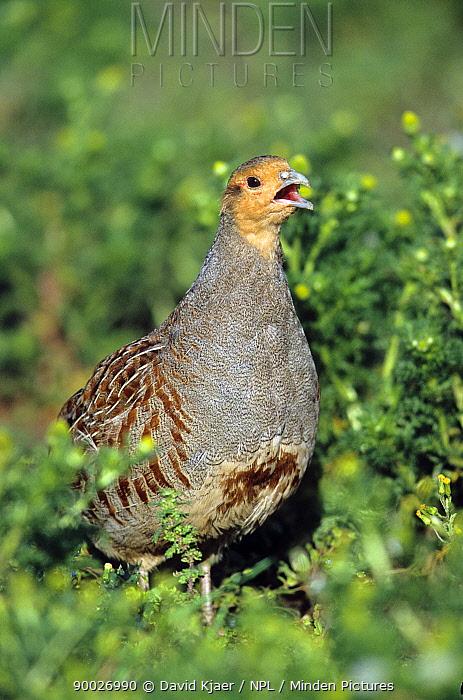 European Partridge (Perdix perdix) male calling, Norfolk, England United Kingdom  -  David Kjaer/ npl