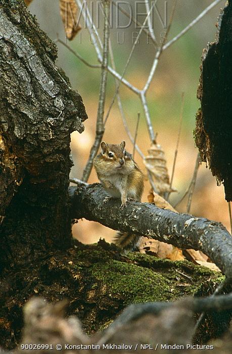 Siberian chipmunk (Eutamias sibiricus) Ussuriland, SE Russia  -  Konstantin Mikhailov/ npl