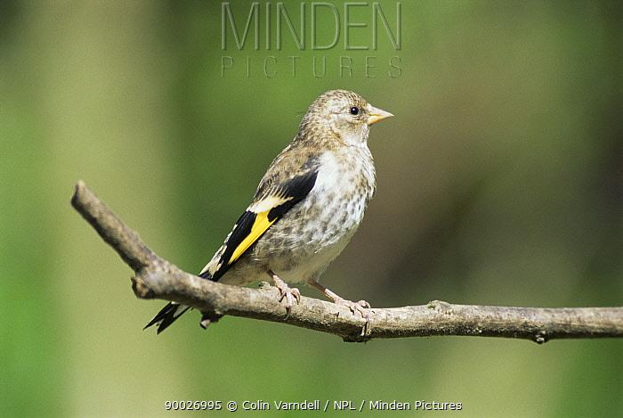 European Goldfinch (Carduelis carduelis) feldgling United Kingdom  -  Colin Varndell/ npl