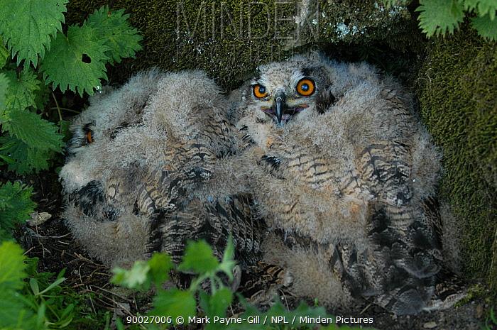 Eurasian Eagle-Owl (Bubo bubo) 21-day chicks, Yorkshire, United Kingdom  -  Mark Payne-Gill/ npl