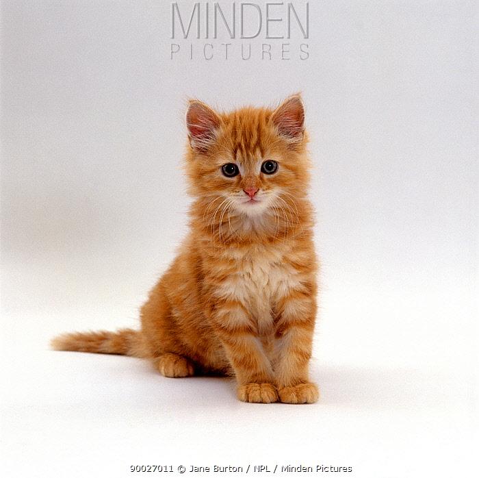 Domestic Cat (Felis catus) 8-weeks, fluffy Ginger male kitten  -  Jane Burton/ npl