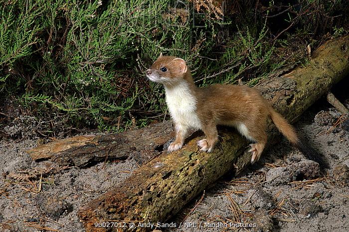 Short-tailed Weasel (Mustela erminea) on heathland, Captive, United Kingdom  -  Andy Sands/ npl