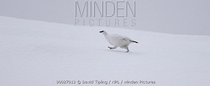 Rock Ptarmigan (Lagopus mutus) profile walking in snow, Scottish Highlands, United Kingdom Winter plumage  -  David Tipling/ npl