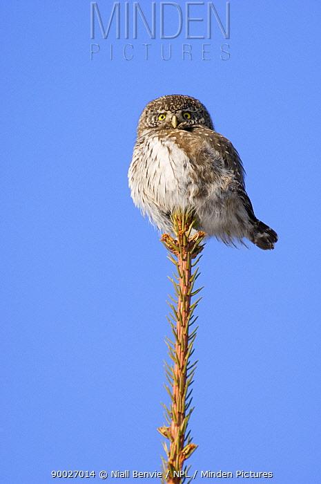 Pygmy owl (Glaucidium genus) perching on the top of a Norway spruce, Estonia  -  Niall Benvie/ npl