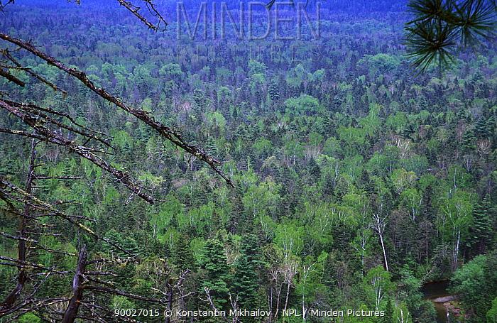 Ussurian taiga with Korean Pine, Korean Spruce, Yellow and White birch, Bikin-Khor low watershed, Sikhote-Alin Region, SE Siberia, Russia (Ussuriland)  -  Konstantin Mikhailov/ npl