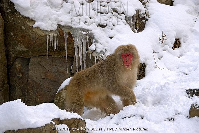 Japanese Macaque (Macaca fuscata) adult in snow, Jigokudani, Japan  -  Adrian Davies/ npl