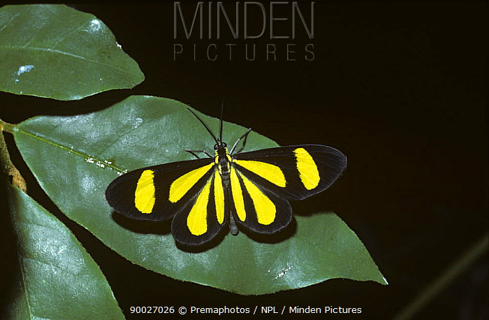 Warningly coloured day-flying moth (Atyria sp) in rainforest, Brazil  -  Premaphotos/ npl