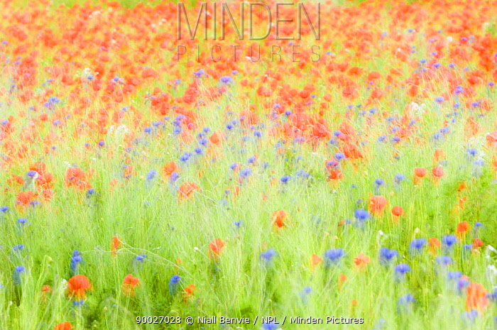 Abstract impression of Common poppies (Papaver sp) and Cornflowers (Centaurea sp), UK, June  -  Niall Benvie/ npl