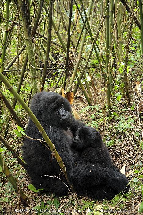 Young Mountain gorilla (Gorilla gorilla beringei)suckling from mother, amongst bamboo in the Volcanoes National Park, Rwanda Altitude of 3000m, Short dry season, February  -  Christophe Courteau/ npl