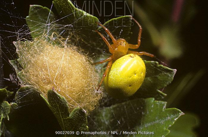 Cucumber Spider (Araniella cucurbitina) female guarding her egg-sac, United Kingdom  -  Premaphotos/ npl
