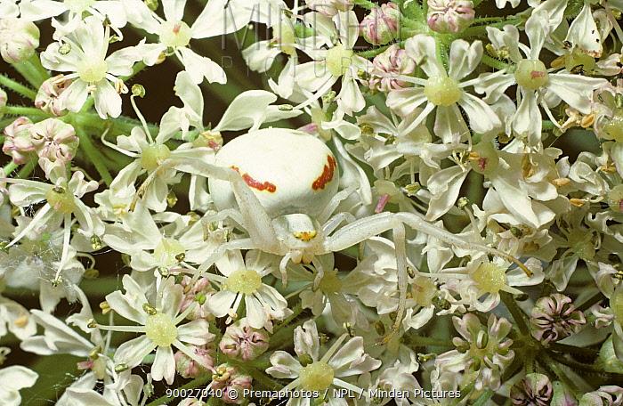 Goldenrod Crab Spider (Misumena vatia) flower female camouflaged on Hogweed flower head, United Kingdom  -  Premaphotos/ npl