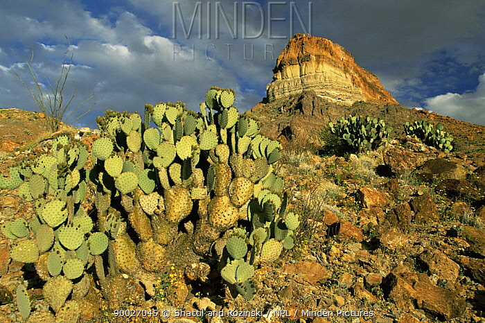 Prickly pear cactus (Opuntia sp) with Cerro Castellan peak in background, Big Bend NP, Texas, USA, 2004  -  Shattil & Rozinski/ npl