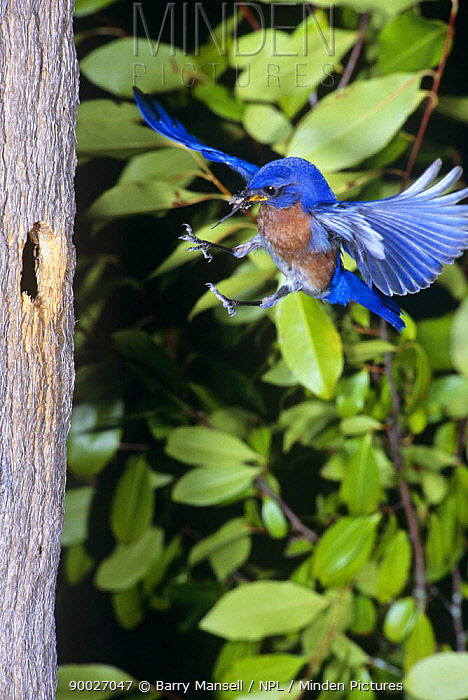 Eastern Bluebird (Sialia sialis) male flying to nest hole with prey, Florida  -  Barry Mansell/ npl