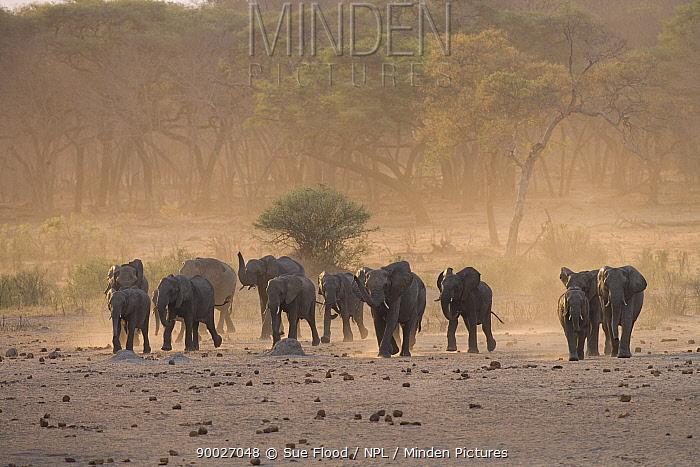 African Elephant (Loxodonta africana) herdin a dust storm during the dry season in Hwange National Park, Zimbabwe  -  Sue Flood/ npl