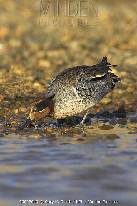 Common Teal (Anas crecca) male feeding at coastal pool on the saltings, Norfolk, England, United Kingdom  -  Gary K. Smith/ npl