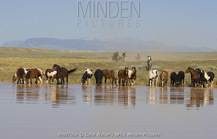Wild horse, mustang in McCullough Peaks, Wyoming, USA, horses drink while last band straggles to the waterhole  -  Carol Walker/ npl