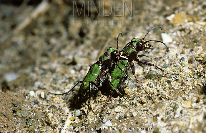 Green Tiger Beetle (Cicindela campestris) male holding female in his jaws while she lays her eggs (mate guarding), United Kingdom  -  Premaphotos/ npl