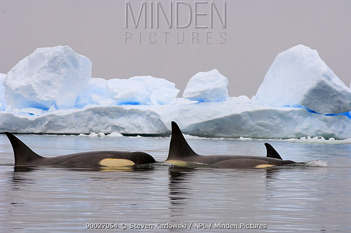 Orca (Orcinus orca) pod traveling in waters off the western Antarctic Peninsula, Southern Ocean  -  Steven Kazlowski/ npl