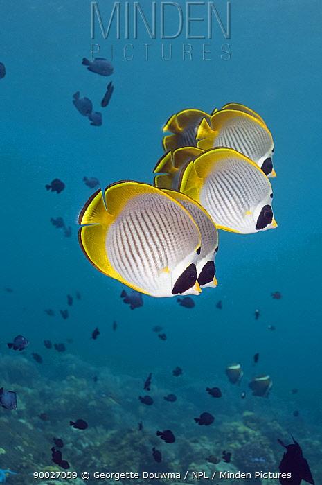 Eyepatch Butterflyfish (Chaetodon adiergastos), Bali, Indonesia  -  Georgette Douwma/ npl