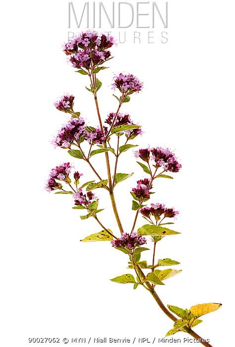 Variegated Marjoram (Origanum vulgare) in flower, Scotland United Kingdom  -  Niall Benvie/ npl