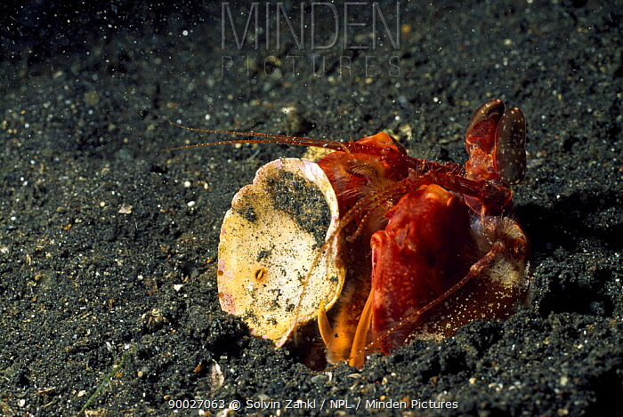 Spearer Mantis Shrimp (Lysiosquillina lisa) hiding behind empty crab shell for camouflage, Lembeh Straits, Sulawesi, Indonesia  -  Solvin Zankl/ npl