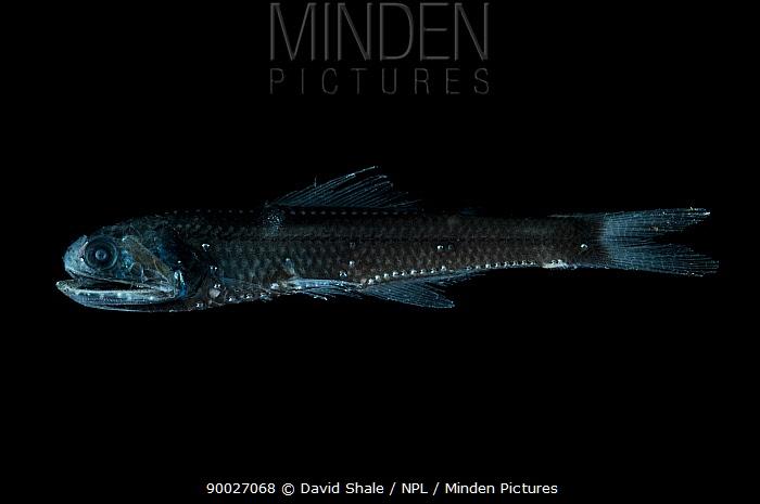 Lanternfish (Notoscopelis sp) from the mid-Atlantic ridge from 100-150m at night  -  David Shale/ npl