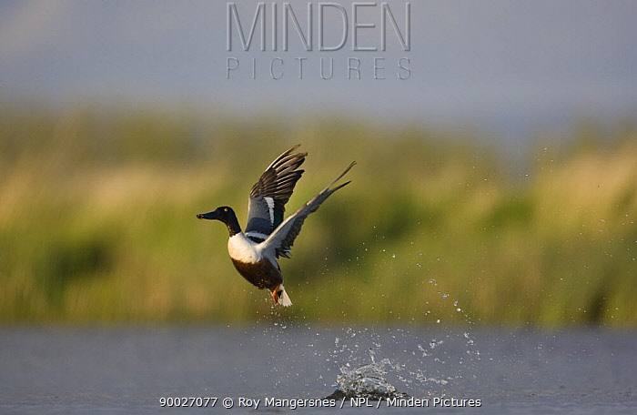 Northern Shoveler (Anas clypeata) male taking off from water, Norway  -  Roy Mangersnes/ npl