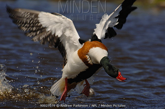 Common Shelduck (Tadorna tadorna) adult male shelduck in a full and threatening charge, attempting to drive away gulls that might prey on his ducklings Skomer Island, Wales, United Kingdom  -  Andrew Parkinson/ npl