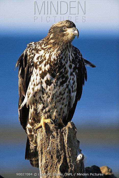 Bald Eagle (Haliaeetus leucocephalus)juvenile, perching on post, Alaska  -  Lynn M. Stone/ npl