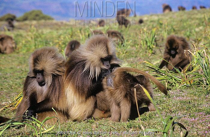 Gelada Baboon (Theropithecus gelada) male grooming female's bottom Simien Mountains, Ethiopia  -  Miles Barton/ npl