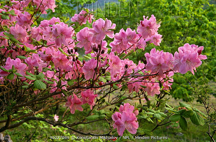 (Rhododendron schlippenbachii) S Ussuriland, Siberia, Russia  -  Konstantin Mikhailov/ npl