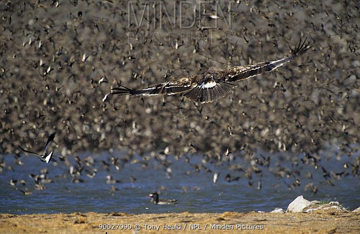 Red-billed Quelea (Quelea quelea) attacked by Steppe eagle (Aquila rapax nipalensis), Etosha National Park, Namibia  -  Tony Heald/ npl