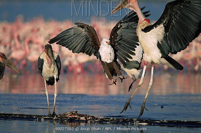 African Fish Eagle (Haliaeetus vocifer) defends Lesser flamingo carcass from Marabou storks (Leptoptilos crumeniferus) Lake Nakuru, Kenya  -  Anup Shah/ npl