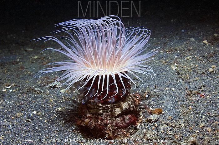 Tube anemone (Cerianthidae) Lembeh Strait, North Sulawesi, Indonesia  -  Georgette Douwma/ npl