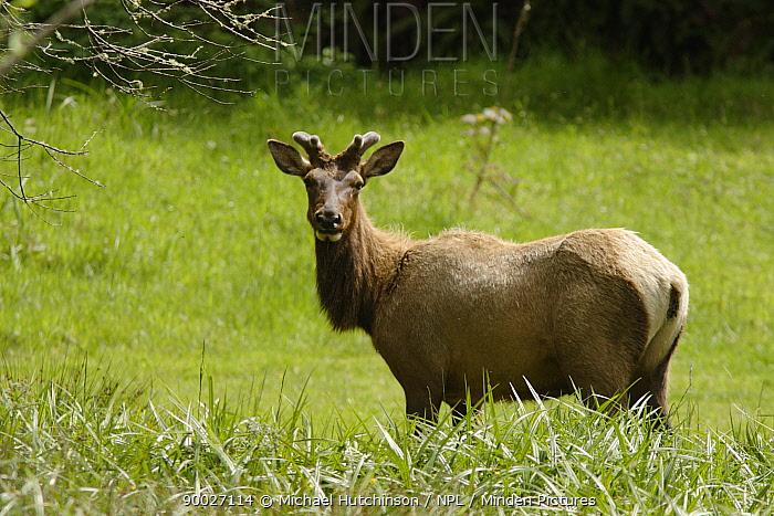 Roosevelt Elk (Cervus elaphus roosevelti) Redwood National Park, California  -  Michael Hutchinson/ npl