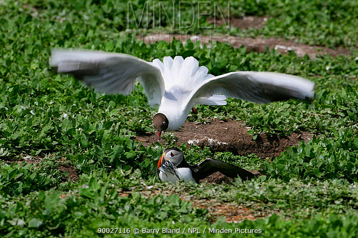 Atlantic Puffin (Fratercula arctica) attacked by gull with Sandeels in beak, Farne Islands, Northumberland, United Kingdom  -  Barry Bland/ npl