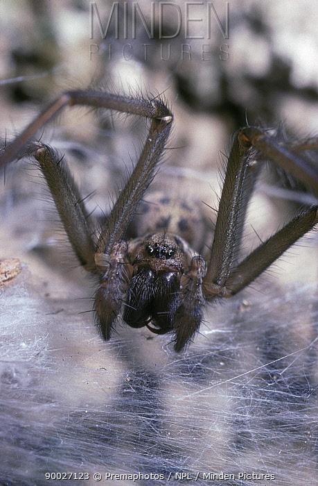 Large House Spider (Tegenaria gigantea) face portrait of immature male, United Kingdom  -  Premaphotos/ npl