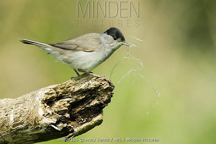Blackcap (Sylvia atricapilla) Male with nesting material, Hertfordshire, United Kingdom  -  Andy Sands/ npl