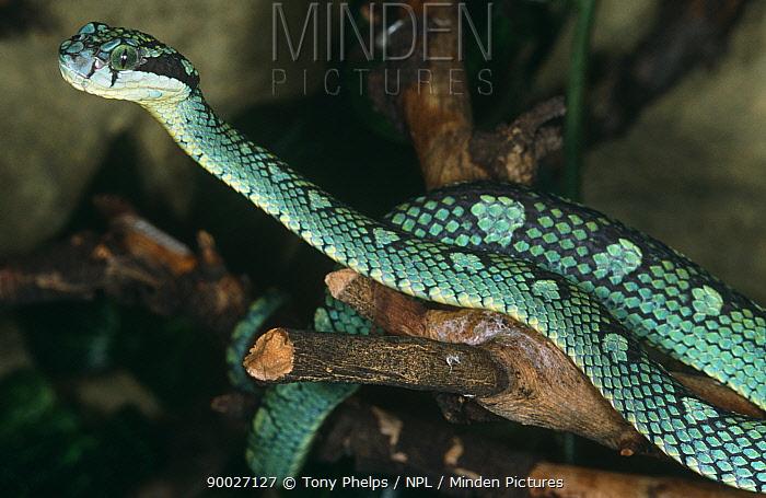 Minden Pictures Sri Lankan Pit Viper Trimeresurus Trigonocephalus On Log Captive From Sri Lanka Tony Phelps Npl