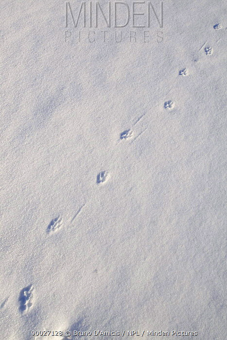 Red Fox (Vulpes vulpes) tracks on snow, Germany  -  Bruno D'amicis/ npl