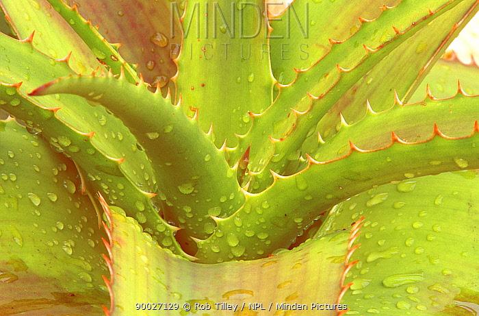 Abstract of Tree Aloe (Aloe sp) Naples Botanical Garden, Florida, USA  -  Rob Tilley/ npl